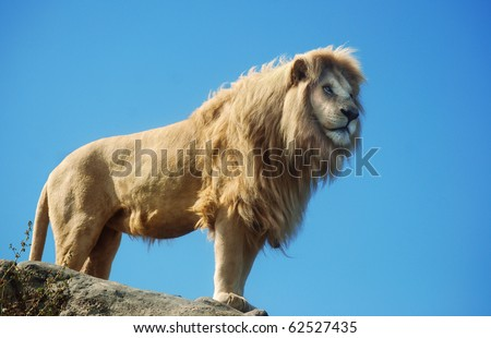 A male lion standing on an outcrop with a blus sky background.