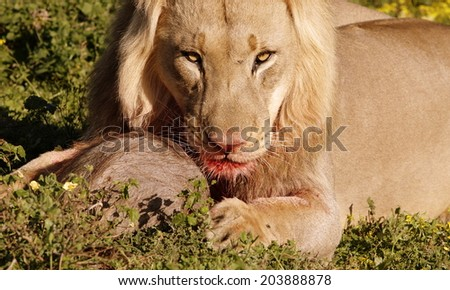 A male lion stares aggressively while protecting his warthog kill. Taken in South Africa. - stock photo