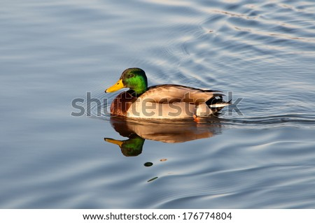 A male mallard duck with his reflection in the water. - stock photo