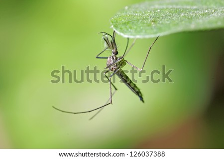 A male mosquito is staying under the leaf on green background - stock photo