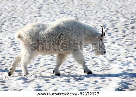 A male mountain goat walking through a late summer patch of snow