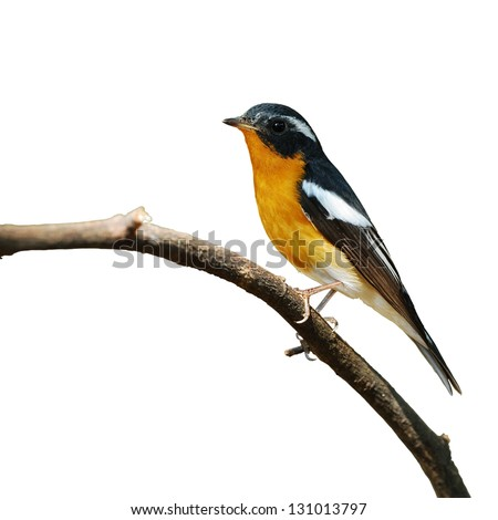 A male Mugimaki Flycatcher on white background.(Ficedula strophiata)