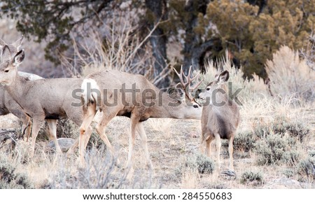 A male mule deer approaches a female during rut