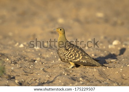 A male Namaqua Sandgrouse (Pterocles namaqua)  stood in the Kalahari desert, Kgalagadi National Park, South Africa.