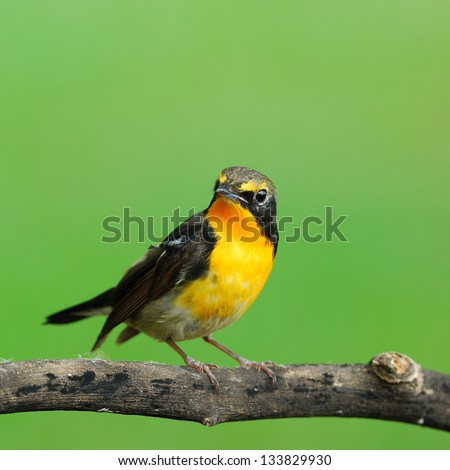 A male Narcissus Flycatcher (Juvenile) is perching on a branch.(Ficedula narcissina) - stock photo