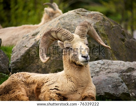 A male North American Big Horn Sheep