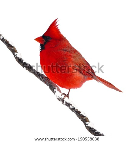 A male Northern Cardinal (Cardinalis cardinalis) on a snowy branch isolated on a white background. - stock photo