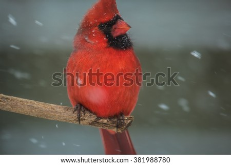 A male Northern Cardinal perched on a small limb during a winter storm in northern Lexington, Kentucky. - stock photo