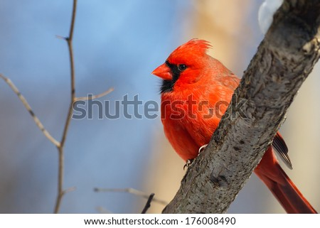 A male northern cardinal rests on a branch in the woods with a blue winter sky behind. - stock photo