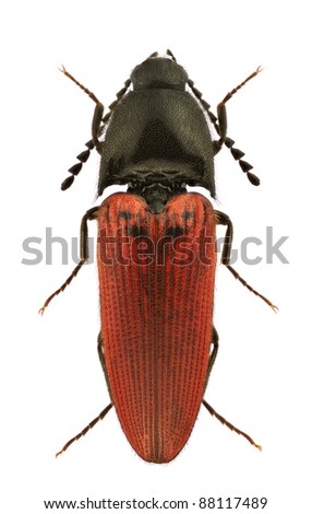 A male of Ampedus cinnaberinus, click-beetle, isolated on a white background - stock photo