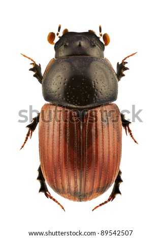 A male of Aphodius fimetarius, dung beetle, isolated on a white background - stock photo