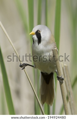a male of bearded tit in natural habitat / Panurus biarmicus - stock photo