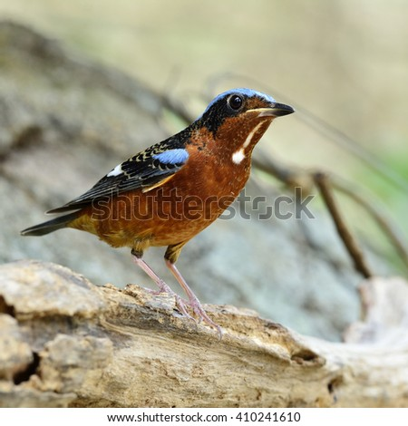 A male of white-throated rock thrush (Monticola gularis) the orange chest and blue back bird perching on wooden log