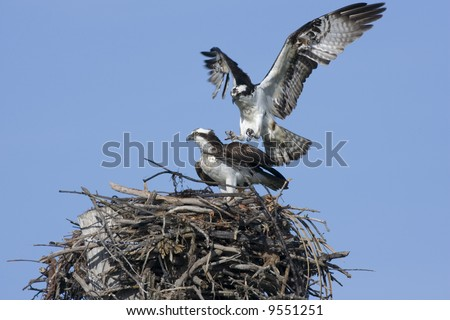A male Osprey lands on the females back to copulate