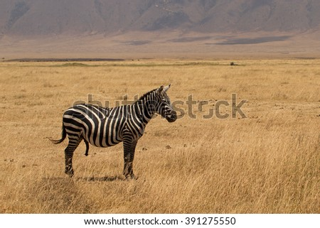 A male plains zebra (Equus quagga) with an erection, in the Serengeti national park, Tanzania - stock photo