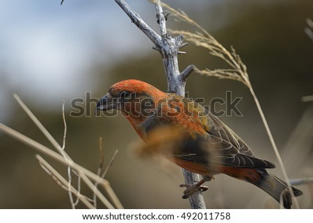 A male red crossbill perches briefly on a dead branch before flying