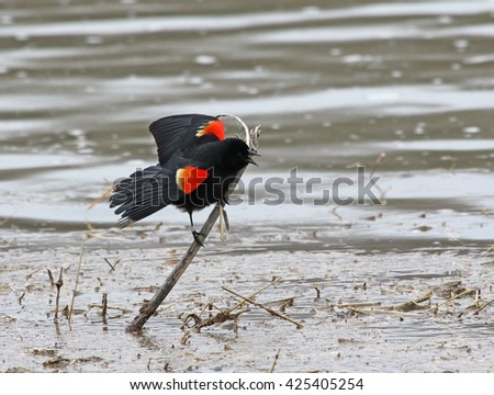 A male Red-winged Blackbird (Agelaius phoeniceus) screeching from a perch.  Shot on the Grand river in Cambridge, Ontario, Canada.  - stock photo