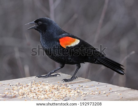 A male Red-winged Blackbird (Agelaius phoeniceus) snacking on a bird feeder.  Shot in Cambridge, Ontario, Canada.