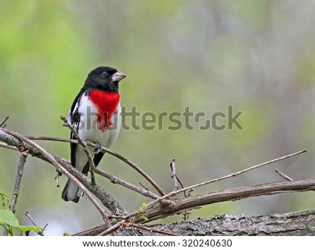 A male Rose-Breasted Grosbeak (Pheucticus ludovicianus) perched on a branch.  Shot in southern Ontario, Canada.  - stock photo