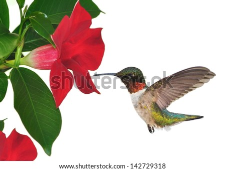 A male Ruby-throated Hummingbird (Archilochus colubris) at red mandevilla flowers isolated on a white background. - stock photo