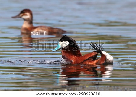 A male ruddy duck displays himself for a prospective female - stock photo
