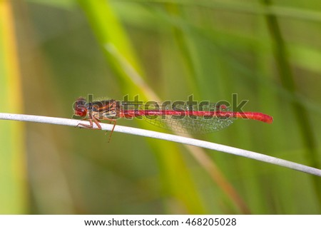 A male Small red damselfly on a reed stem.