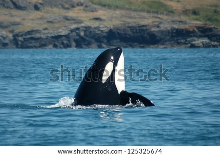 A male Southern Resident Killer Whale spyhops near San Juan Island, Washington. - stock photo