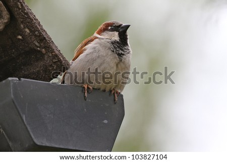 A male sparrow (passer domesticus) sitting on the end of a rain gutter. Photo taken in the UK. - stock photo