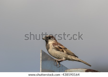 A male Sparrow sitting on a street sign and watching the camera