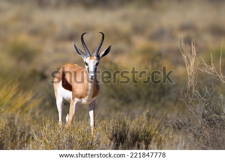 A male Springbok (Antidorcas marsupialis) standing in dry grassland, Kalahari desert, South Africa - stock photo