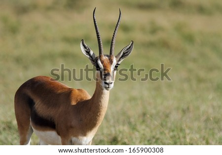 A male Thomson's Gazelle with beautiful horns - stock photo