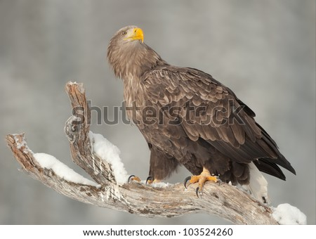 A male White-tailed Sea Eagle standing on the snow covered top limb of a dead pine tree in the Smalielva region of Flatanger in Norway. - stock photo