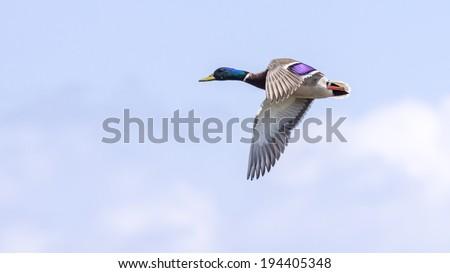 A Mallard Drake shows its beauty in flight. - stock photo