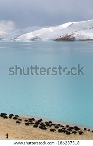 A man and his group of yaks with mountain walking along the lake - stock photo