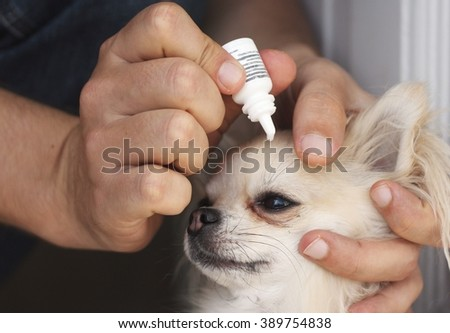 A man applying antibiotic eye drops to a small chihuahua