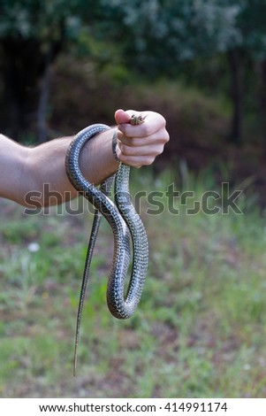 A man holding a Malpolon monspessulanus, the green snake. The biggest snake of Europe, is a harmless and endangered species. - stock photo