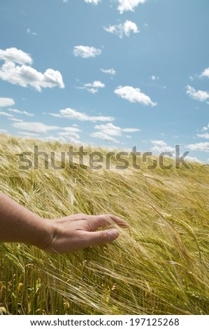 A man's hand touching the top of long grass in a field. - stock photo