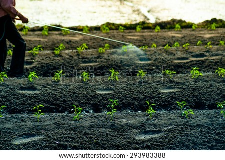 A man walking between carefully cultivated green sprouts and sprays insecticides. Natural agricultural scene. - stock photo