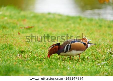 A Mandarin Duck Feeding on the grass - stock photo