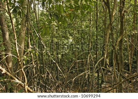 A mangrove trees sprouting with roots in the wilderness - stock photo