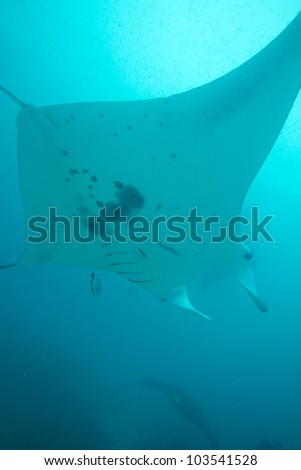 A manta ray flies overhead as it is cleaned. - stock photo