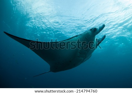 A manta ray (Manta alfredi) cruises through the seas near the island of Komodo in Indonesia. Mantas are found worldwide and are one of the most graceful swimmers in the sea. - stock photo