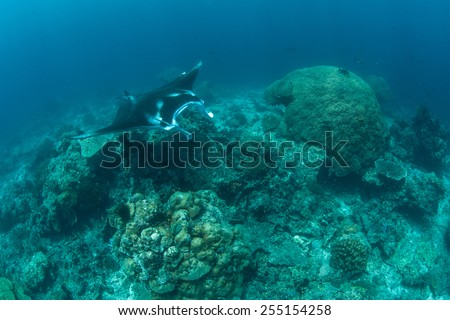 A manta ray (Manta alfredi) swims over a seamount in Raja Ampat, Indonesia where it will be cleaned of parasites by small fish. Mantas are huge rays that feed on plankton. - stock photo