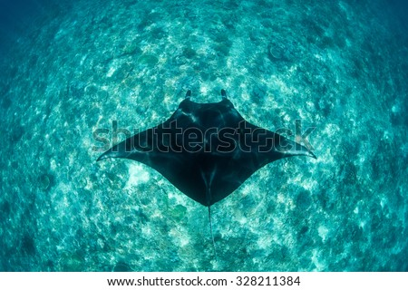 A Manta ray (Manta alfredi) swims over an oceanic pinnacle in Komodo National Park, Indonesia. Mantas are found worldwide and feed exclusively on plankton. - stock photo