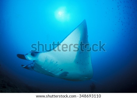 A manta ray peacefully passing a diver in clear, blue water