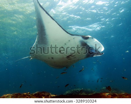 A Manta ray sweeps by over a cleaning station - stock photo