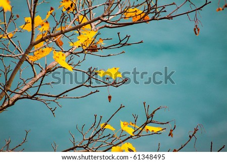 A maple tree in fall against a turquoise background.