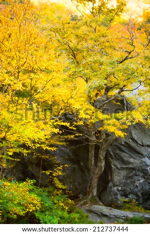 A maple tree in the fall with a large boulder, Stowe Vermont, USA - stock photo