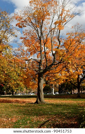 A maple tree on the Cambridge Common park in Cambridge, MA, on a beautiful Fall day during Indian Summer. - stock photo