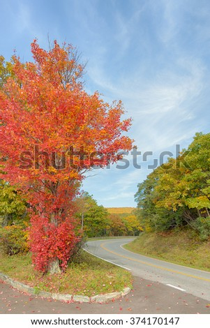 A maple tree showing the first autumn colors on Skyline Drive, in Shenandoah National Park, Virginia.